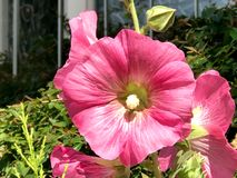 Hollyhocks stock image