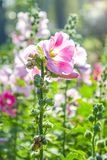 The hollyhocks flower with fare lighting in the morning time. The hollyhocks flower with fare lighting in the morning at the garden. The beautiful flowers made