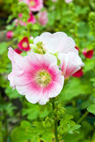 Hollyhocks flower in the garden Royalty Free Stock Photography