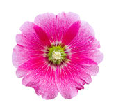 Hollyhocks flower isolated Stock Images
