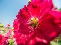 Hollyhocks flower Stock Photos
