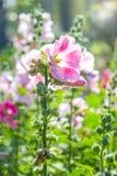 Hollyhocks kwitną z opłaty oświetleniem w ranku czasie zdjęcia stock