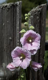 Hollyhocks and Old Fence Stock Photo