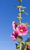 Hollyhocks rosados con la abeja Fotografía de archivo