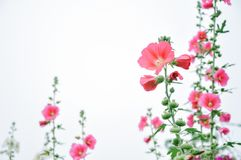 Hollyhocks are blooming stock photo