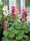 Hollyhocks by the Window Stock Photography
