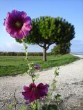 Hollyhook nell'isola Francia di Oléron fotografia stock