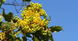 Hollyleaved barberry in bloom, mahonia sp., in a garden in Normandy,. Real Time 4K stock footage