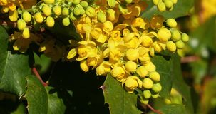 Hollyleaved barberry in bloom, mahonia sp., in a garden in Normandy,. Real Time 4K stock video
