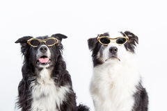 Hollywood Dogs. Two cool characters. Australian shepherd dogs wearing gold rimmed Hollywood style sunglasses Stock Photography