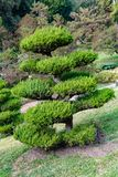 Hollywood Juniper or Juniperus Chinensis plant. In a botanical garden in Pasadena California is an evergreen and decorative in gardens, compounds and yards royalty free stock photography