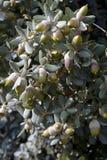 Holm Eik (Quercus ilex) royalty-vrije stock foto