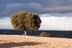 Holm oak Stock Photography