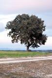 Holm oak. In green field Stock Images