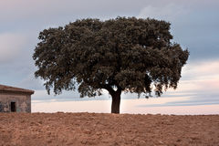 Holm oak Royalty Free Stock Photos