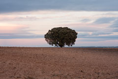 Holm oak. Tree in plowed field Royalty Free Stock Photography