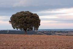 Holm oak. Tree in plowed field Royalty Free Stock Image