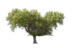 Holm oak Stock Photos