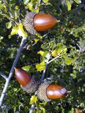 Holm oak acorns in tree stock image