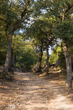 Holm oak Stock Image