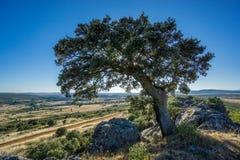 Holm oak backlit against blue sky Stock Photo