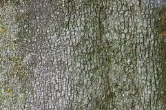 Holm oak bark. The bark from holm oak Royalty Free Stock Photography