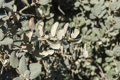 Holm Oak, Eiche Ilex Subsp rotundifolia Stockbild