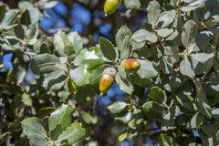 Holm Oak, Eiche Ilex Subsp rotundifolia Stockbilder