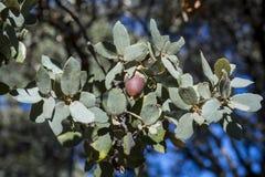 Holm Oak, Eiche Ilex Subsp rotundifolia Lizenzfreies Stockbild