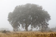 Holm oak and fog in winter. Quercus ilex. Holm oak in the fog on a cold winter day Stock Images