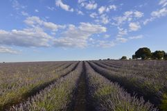 Holm Oak Forest Next To Rows Of Lavender With A Sky With Lovely Clouds In A Brihuega Meadow. Nature, Plants, Odors, Landscapes. September 8, 2018. Brihuega stock images