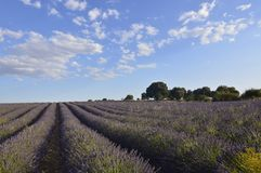 Holm Oak Forest Next To Rows Of Lavender With A Sky With Lovely Clouds In A Brihuega Meadow. Nature, Plants, Odors, Landscapes. September 8, 2018. Brihuega royalty free stock photos
