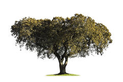 Holm oak isolated on white Stock Images
