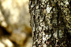Holm oak log Stock Images