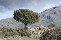 Holm Oak next to the stone wall Stock Photo