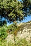 Holm oak Royalty Free Stock Photo