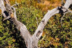 Holm oak Stock Images