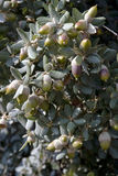 Holm Oak (Quercus ilex) Royalty Free Stock Photo