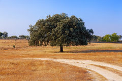 Holm Oak (Quercus Ilex) in a Summer landscape in Crato, South of Portugal. Royalty Free Stock Photo