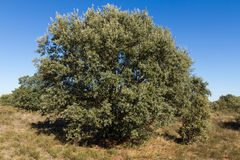 Holm Oak ( Quercus ilex )  tree Stock Image