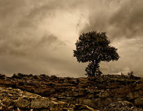 Holm oak in a rocky place. Stock Images