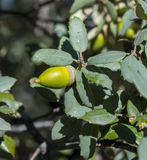 Holm Oak, subsp do ilex do Quercus rotundifolia fotografia de stock
