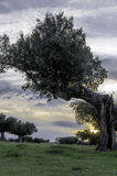 Holm oak with sunset and blue sky. Royalty Free Stock Image