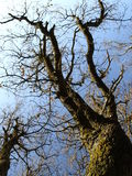 Holm oak tree Royalty Free Stock Photography