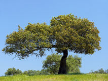 Holm oak tree. Holm oak against blue sky in southern Extremadura (Spain stock photo