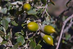 Holm oak Tree Acorn Stock Photography