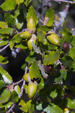 Holm oak Tree Acorn Royalty Free Stock Images