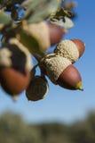 Holm oak Tree Acorn Stock Images