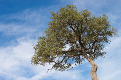 Holm oak Royalty Free Stock Image