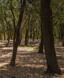 Holm Oak tree forest Stock Photography